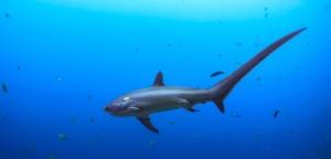 requin-renard
